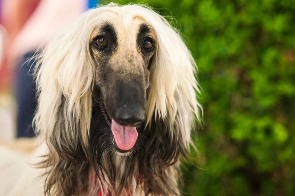 Picture of a Afghan Hound
