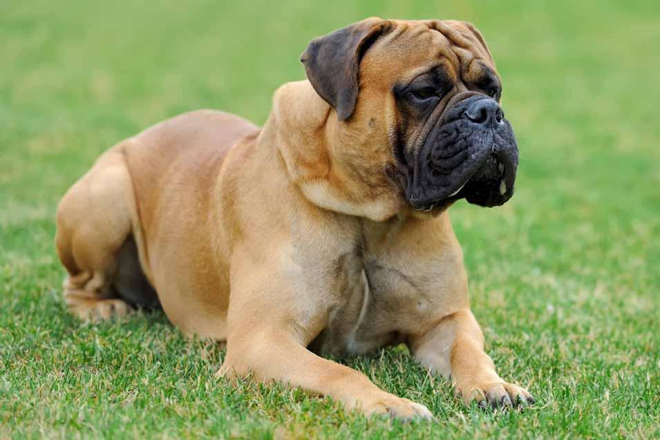 Picture of a Mastiff