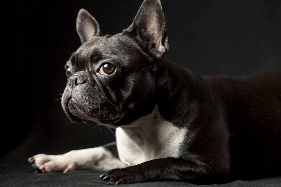 Picture of a black & white French Bulldog