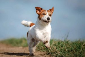 Picture of a Jack Russell Running Outside