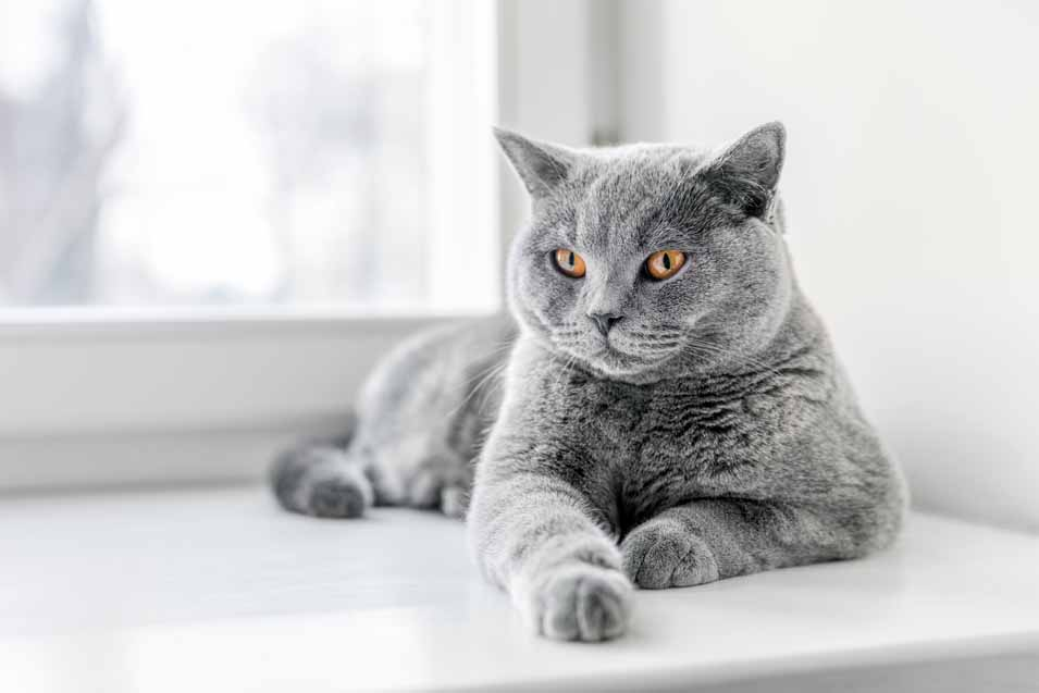 Picture of a British Shorthair Cat