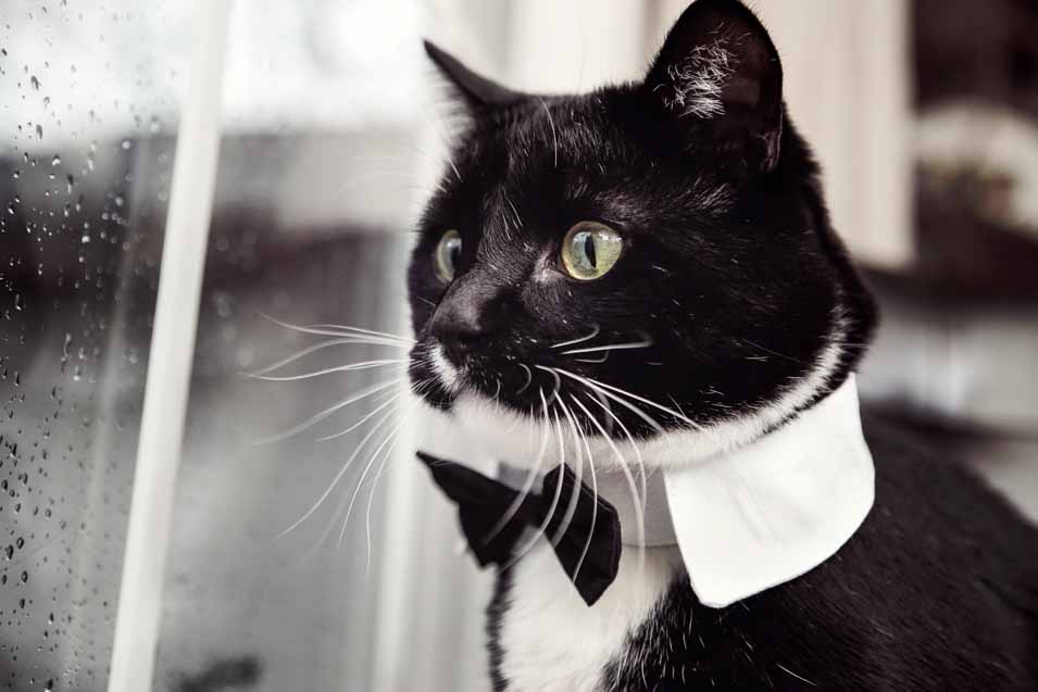 Picture of a Tuxedo Cat