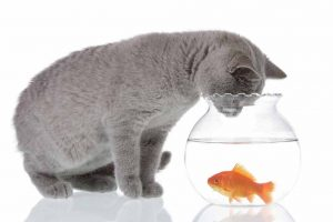 Picture of a grey cat looking at a fish
