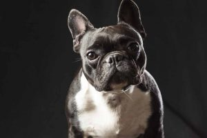 Picture of a French Bulldog sitting down