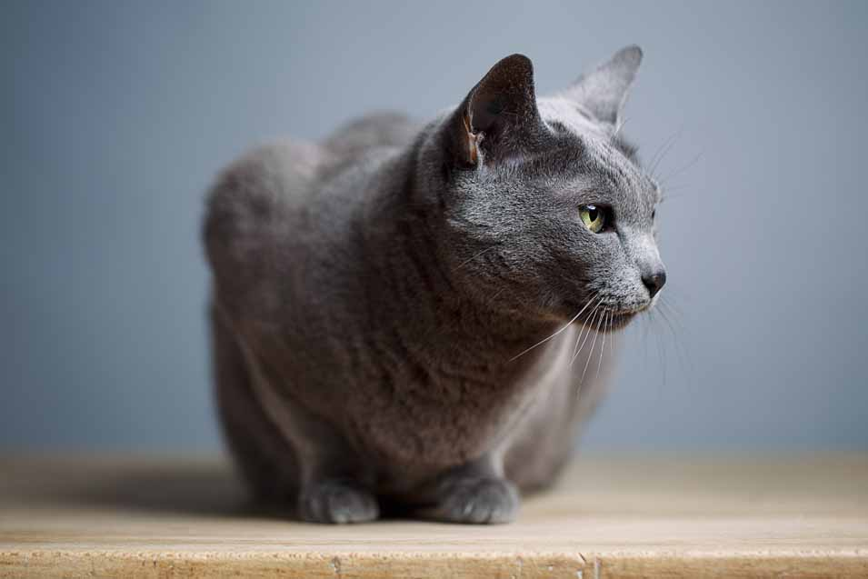 Picture of a Russian Blue Cat