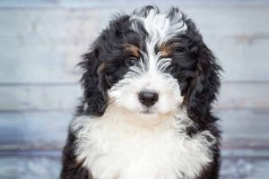 Picture of a Bernedoodle