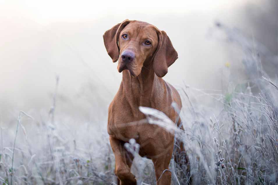 Picture of a hunting dog