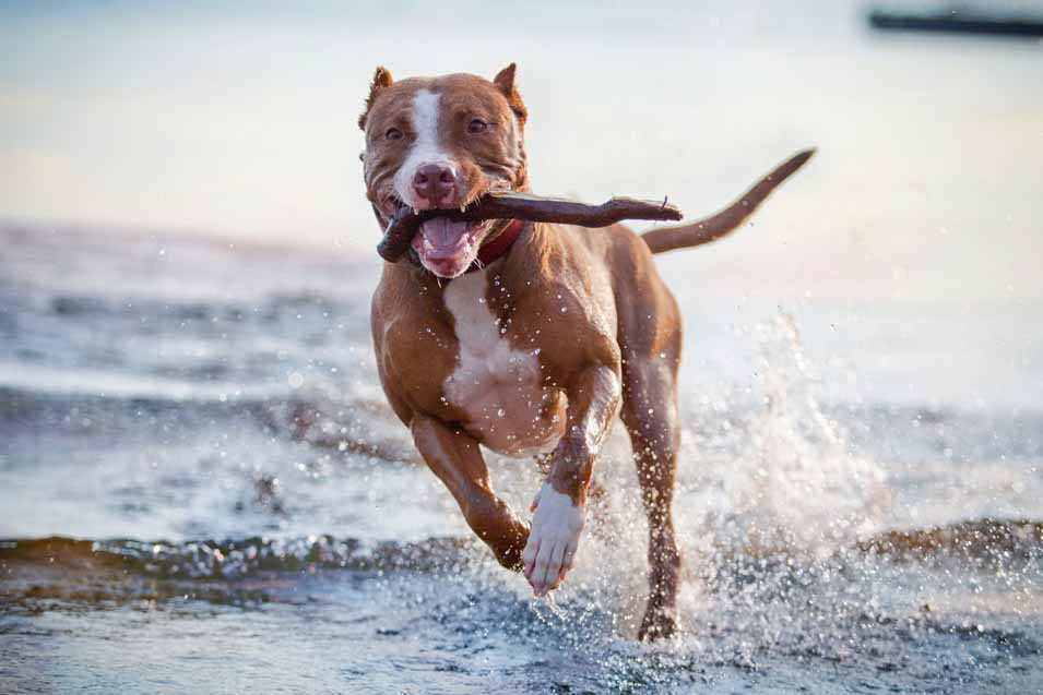 Picture of a dog running at the beach with a stick