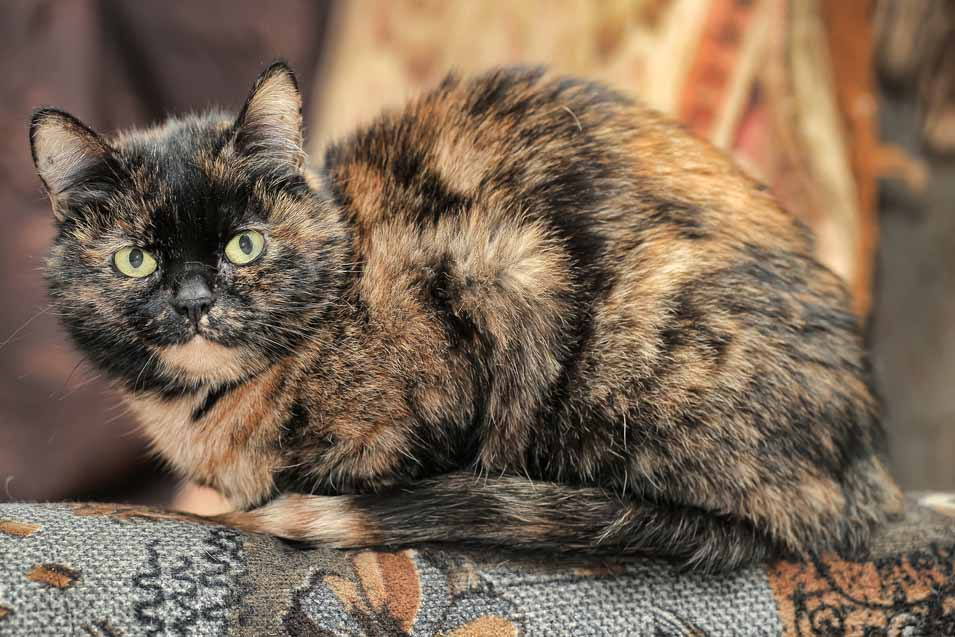 Picture of a Tortoiseshell Cat
