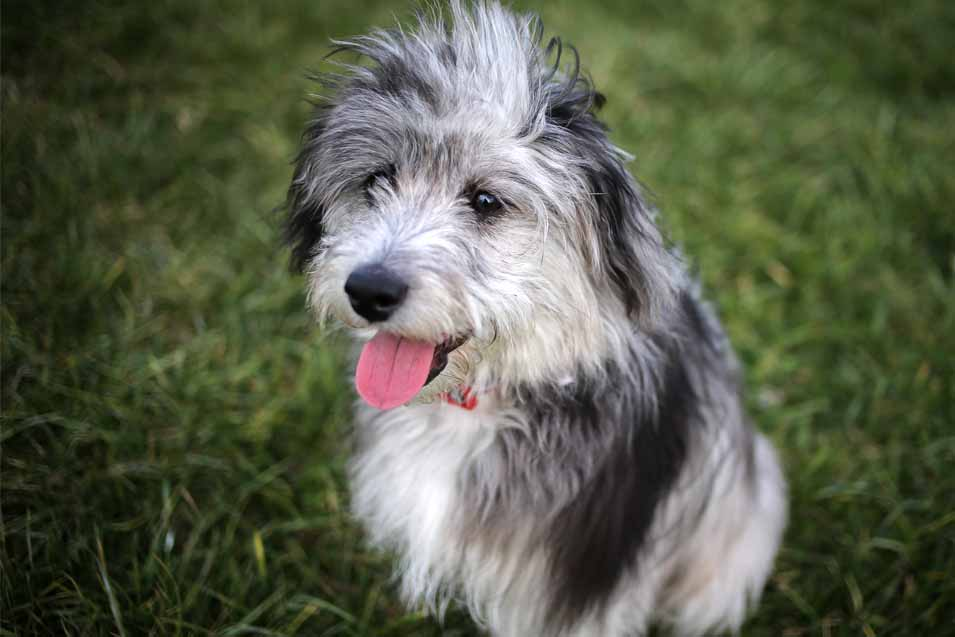 Picture of a Aussiedoodle