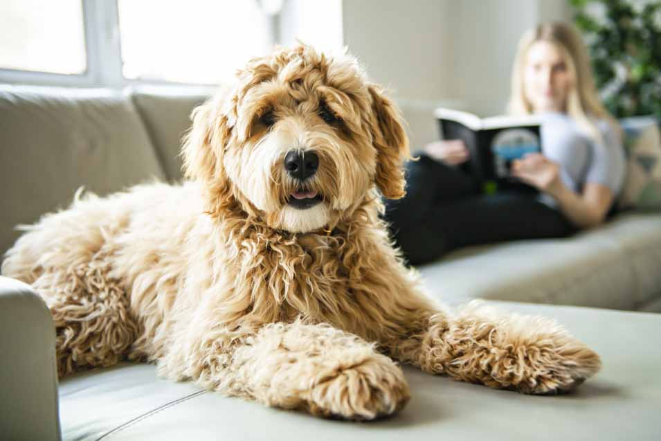 Labradoodle on a leather sofa