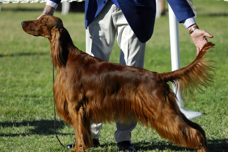 Picture of Irish Setter at a Dog Show