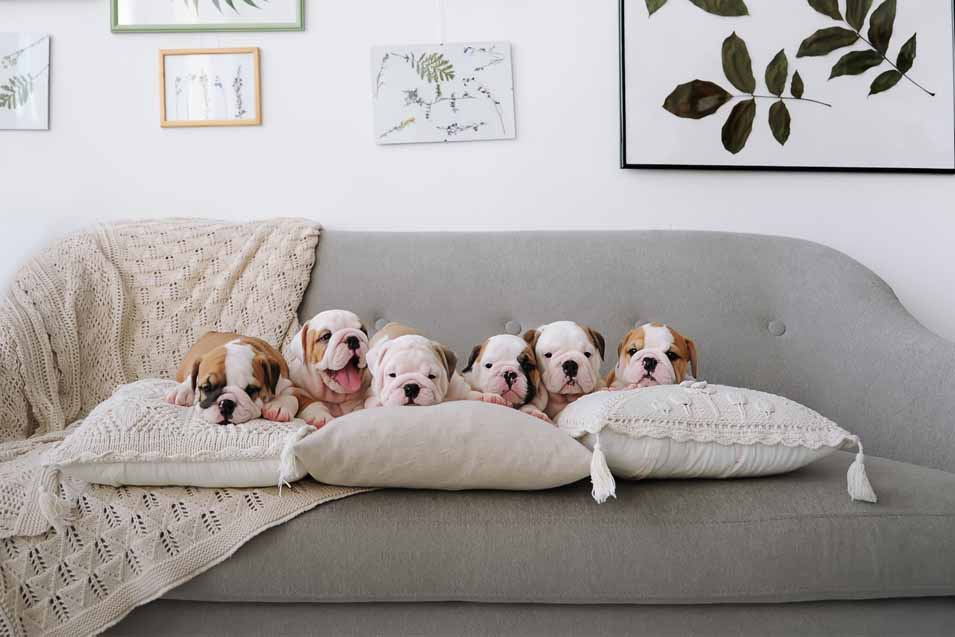 Picture of puppies on a couch