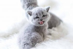 Picture of British Shorthair Kittens