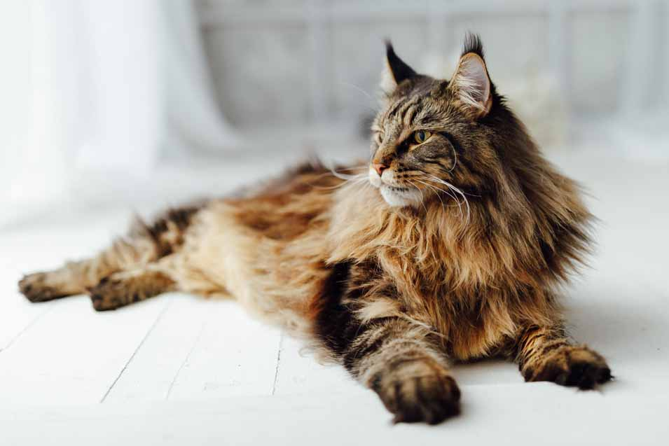 Top 10 Largest Domesticated Cat Breeds Pet Friendly House