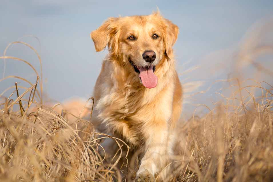 Picture of a Golden Retriever