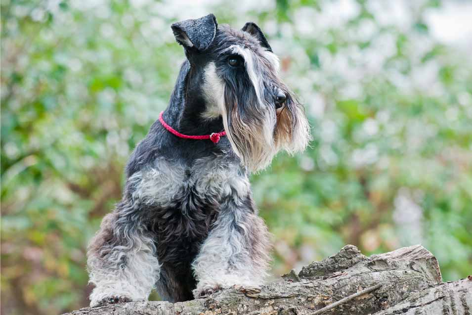 Picture of a Miniature Schnauzer