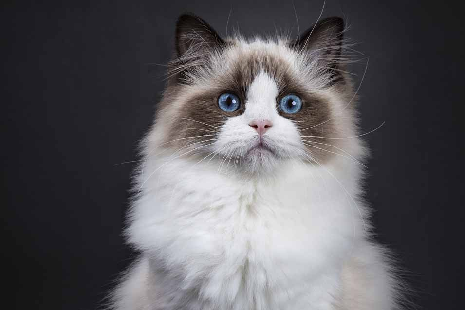 Picture of a Ragdoll Cat