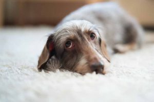 Picture of a dog on the carpet