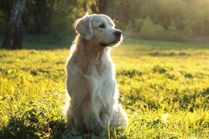 Picture of a Golden Retriever on grass