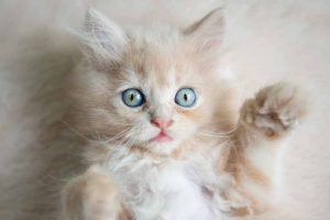 Picture of a orange and white kitten