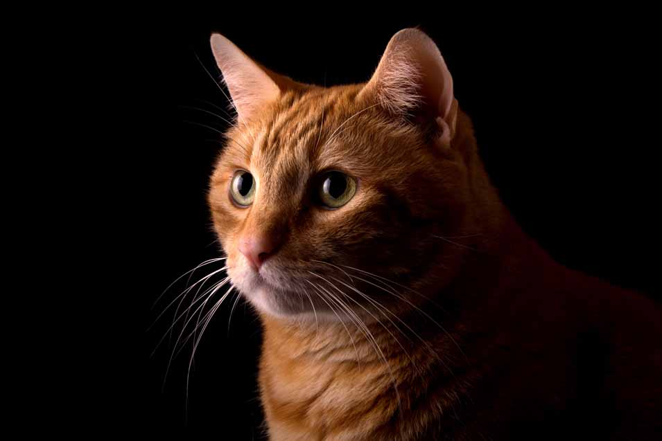 Picture of a orange cat