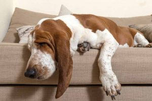Picture of a Basset Hound sleeping