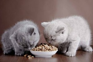 Picture of 2 kittens eating solid cat food