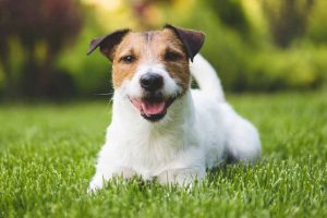 Picture of a Jack Russell on the lawn