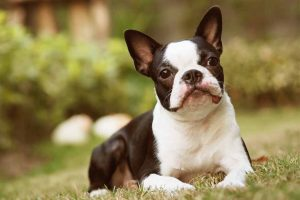 Picture of a Boston Terrier on the grass