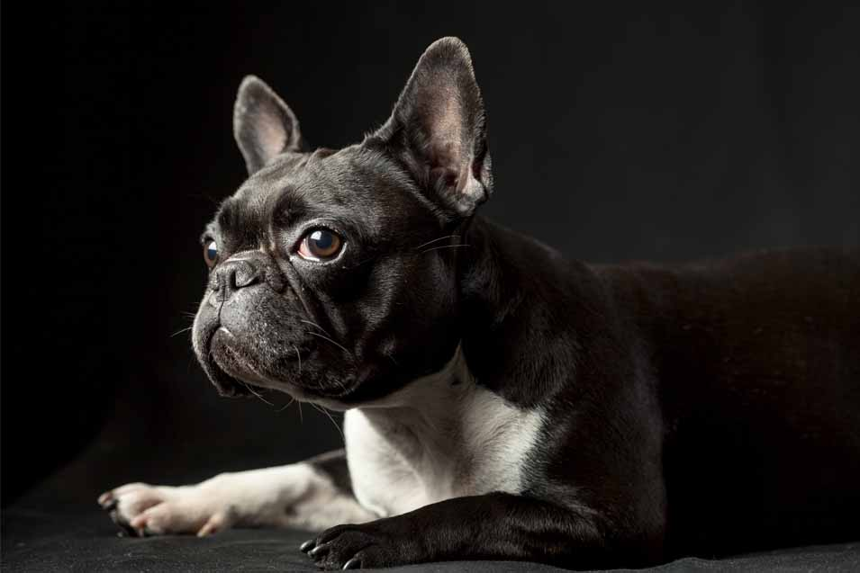 Picture of a Boston Terrier on black