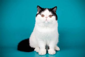 Picture of a black and white Exotic Shorthair cat