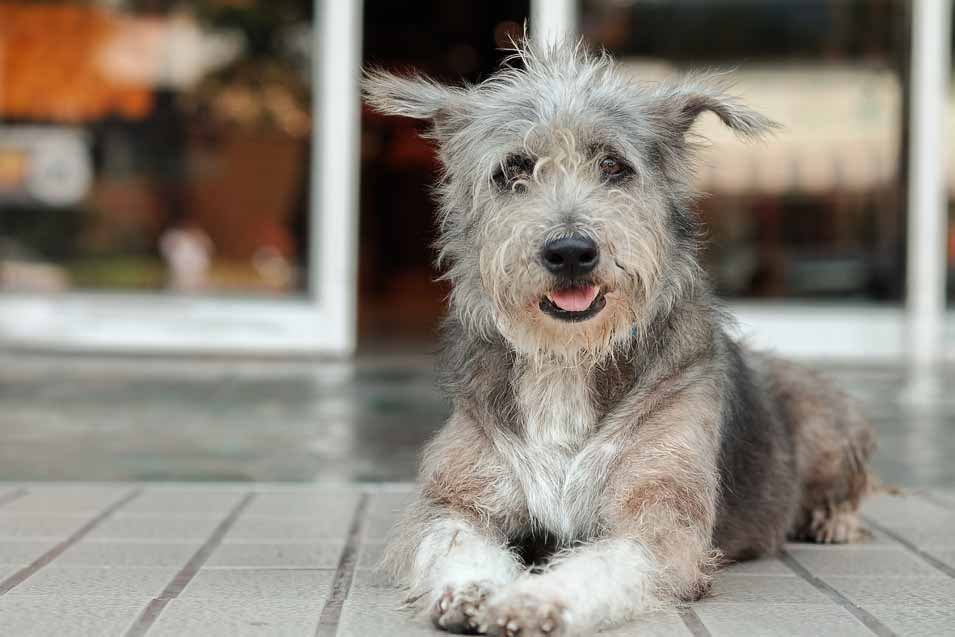 Picture of a grey dog