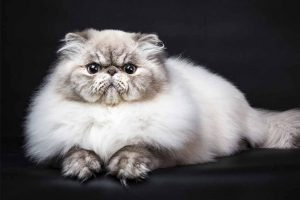 Picture of a Persian Cat