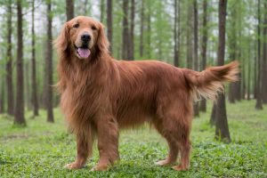 Picture of a Golden Retriever in the forest