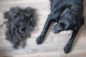 Picture of a black lab and a pile of fur