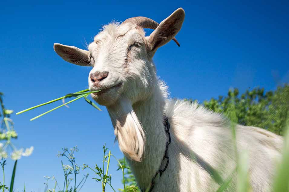 Picture of a white goat