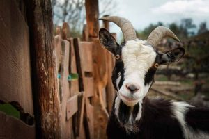 Picture of a black & white goat