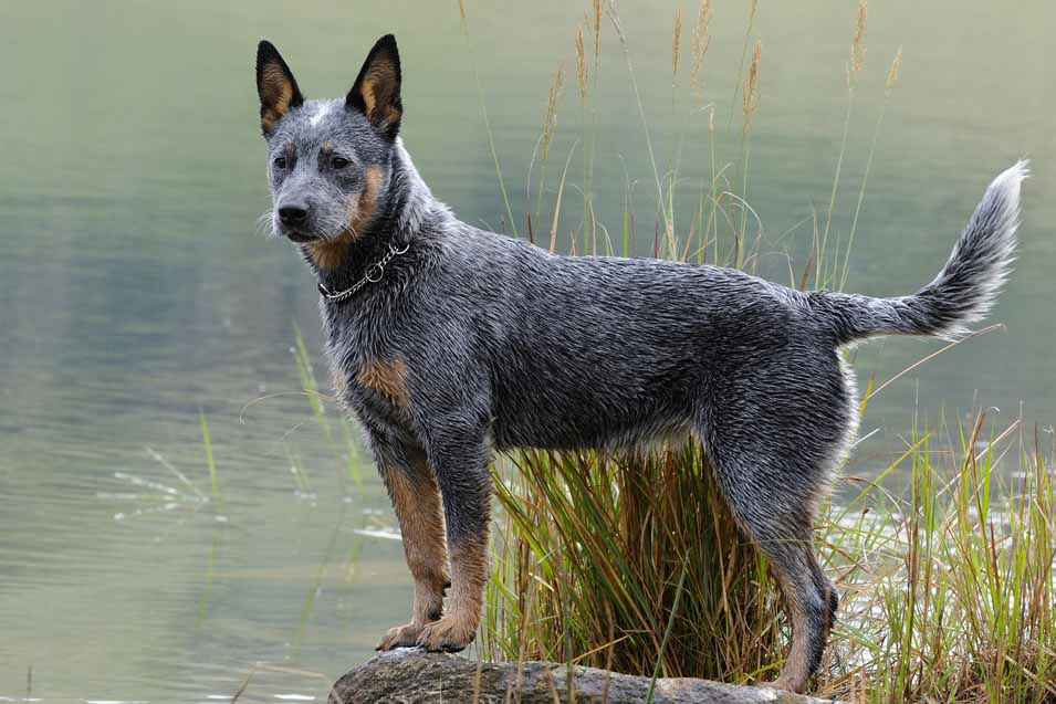 Picture of a Dogtime Australian Cattle Dog