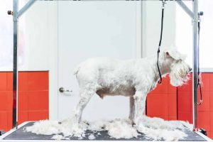 Picture of a dog being shaved