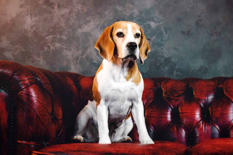 Picture of a beagle on a red couch