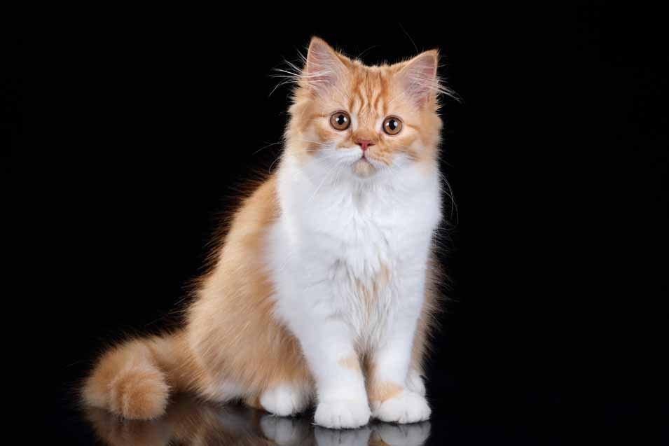 Picture of a orange and white cat