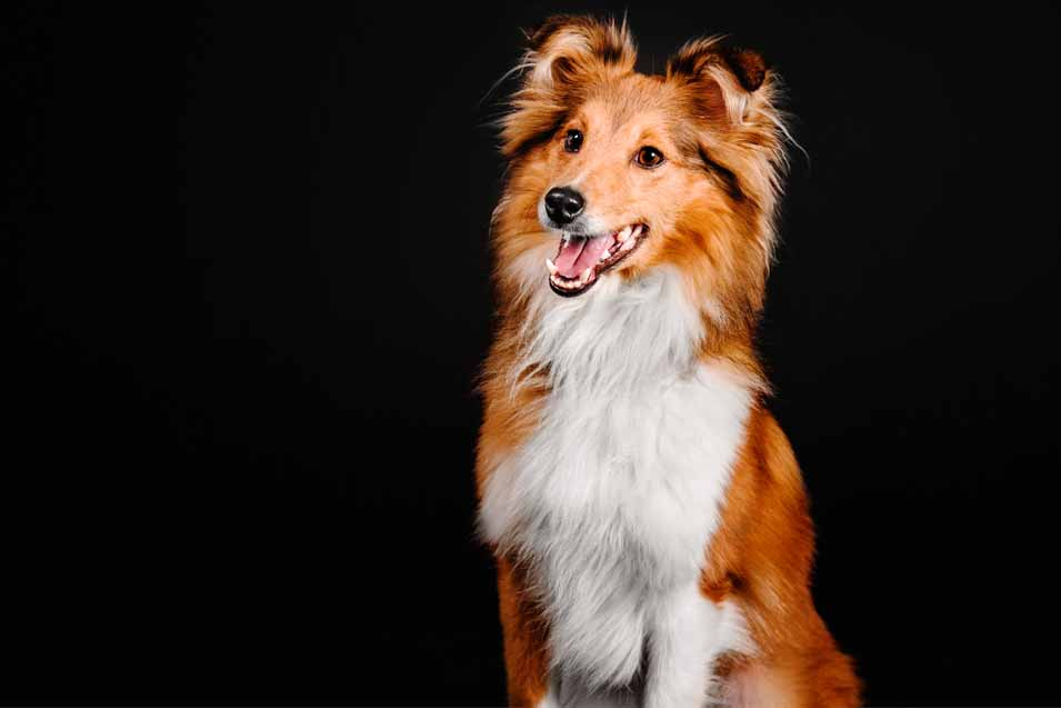 Picture of a Collie Dog