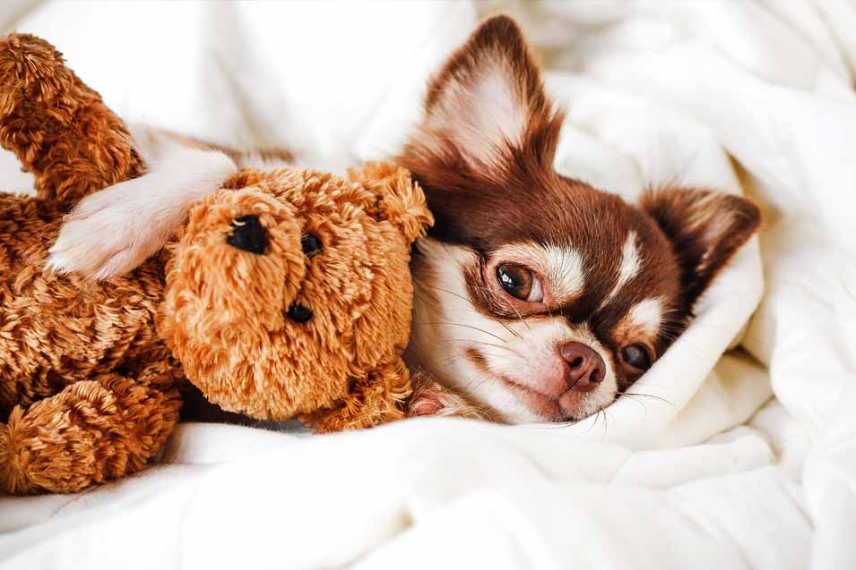 Picture of a small dog in bed
