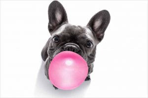 Picture of a dog chewing gum