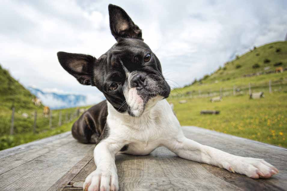 Picture of a boston terrier