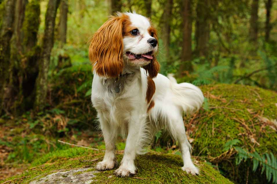 Picture of a charles king spaniel