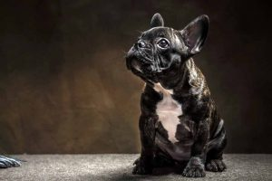 Picture of a brindle French Bulldog