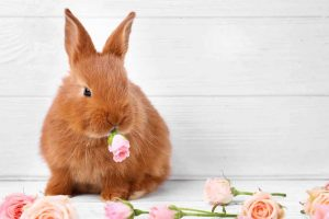 Picture of a bunny eating a rose