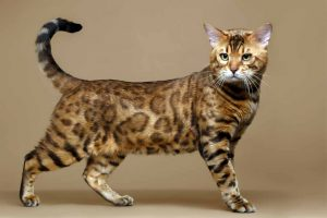 Picture of a spotted cat